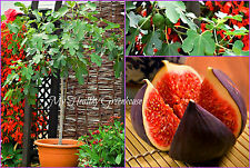 "SEEDS - Vigorous Self Fertile ""Violette De Solliès"" (Ficus carica)Very Hardy Fig"