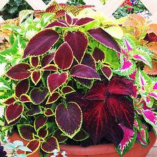 50 Pcs Mix Colors Blumei Seeds Colorful Flower Leaves Home Garden Plant Decor