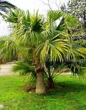Chinese Fan Palm  - LIVISTONA CHINENSIS - 7 Seeds - Tropicals