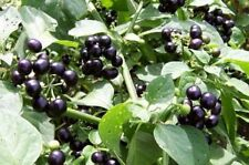 1000 Graines Solanum nigrum , Blackberry Nightshade seeds