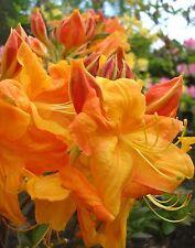 FLAME TREE AZALEA * Rhododendron Calendulaceum * N.AMERICAN  NATIVE * SHRUB SEED
