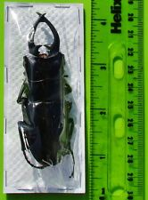 Philippine Stag Beetle Odontolabis dalmanni intermedia 80mm Male FAST FROM USA