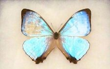 ONE REAL BUTTERFLY BLUE PERUVIAN PEARL MORPHO SULKOWSKI UNMOUNTED WINGS CLOSED