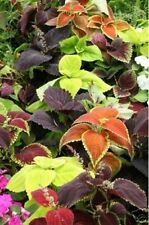 Coleus- Rainbow Mix- 100 Seeds - 50 % off sale