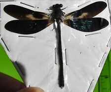 "Real Iridescent Wing Dragonfly Odonates sp. Spread 2 1/4"" FAST SHIP FROM USA"