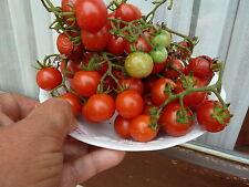"""15 graines Tomate GARDENER'S DELIGHT   """" délice du jardinier""""   SEEDS"""