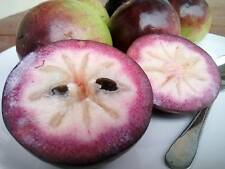 "Purple Star Apple ""Chrysophyllum cai""  Fresh  10 seeds: Febuary 2017"