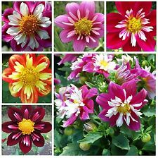 DAHLIA * COLLARETTE MIX * SEMI-DOUBLE RUFFLED BI-COLORED BLOOMS * EASY SEEDS