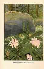 "1926 Vintage WILD FLOWER ""RHODODENDRON"" GORGEOUS COLOR Art Lithograph"