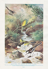 1910 NATURAL HISTORY DOUBLE SIDED PRINT WHEATEAR STONECHAT & WHINCHAT / WAGTAILS