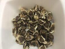 50 Moringa Oleifera Seeds Miracle Drumstick Tree + Free Shipping