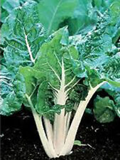 SWISS CHARD, LARGE WHITE RIBBED, HEIRLOOM, ORGANIC 25+SEEDS, TASTY CRISP LEAVES