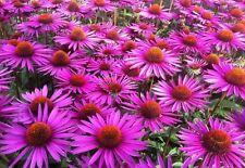 EQUINACEA echinacea purpurea  Medicinal 200 semillas  seeds