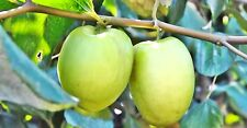 10 Thai Jujube seeds,Rare Original Tropical Fresh Fruit Ziziphus Jujuba Mill