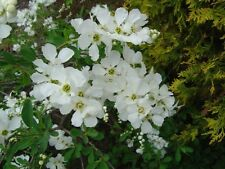 Exochorda x Macrantha The Bride Pearl Bush 9cm Pot