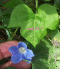 Hederacea Ivy Leaf Morning Glory - ipomoea - 10 fresh seeds - Easy to grow!