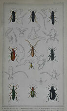 BUGS, BEETLES BARON CUVIER INSECTS: OLD Hand-coloured Plates from 1837, Plate 43