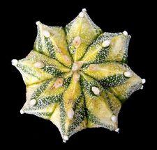 2x 30 grain variegata Astrophytum Capricorne & Makoro cactées cactus Ariocarpus