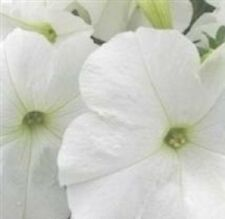Petunia - Ultra White - 30 Seeds