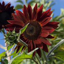 MOULIN ROUGE SUNFLOWER / HAS TO BE THE REDDEST SUNFLOWER ON THE MARKET TODAY!!
