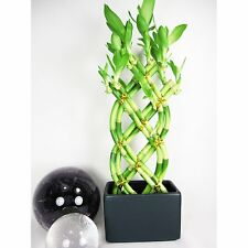 Live 8 Braided Style Lucky Bamboo Plant Arrangement with Black Vase