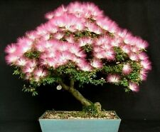 Albizzia julibrissin silk Tree fresh seeds Exotic hardy tree! Ideal for bonsais!