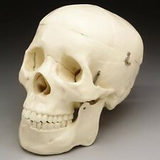 Life-Size Human Bucky Skull Model 2nd Quality, NEW