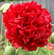 "Red~ ""Papaver Somniferum"" 300 Seeds-Annual Double PEONY POPPY"