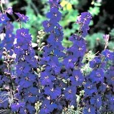100 BLUE SPIRE LARKSPUR Consolida Ambigua Delphinium Flower Seeds +Gift & CombSH