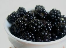 #10 Can of Freeze Dried Blackberries Fruit Survival Food Dehydrated Emergency