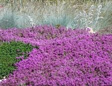 "100+  FLOWERING GROUNDCOVER SEEDS - CREEPING THYME - ""MOTHER OF THYME"" PERENNIAL"