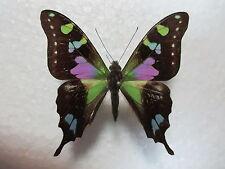 Entomologie Papilionidae Graphium weiskei Mâle PNG