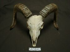 Large ram skull hill country outdoors rustic decor wildlife SR0847