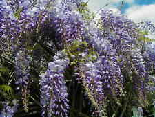 Lavender Wisteria -4 Seeds-Free S&H