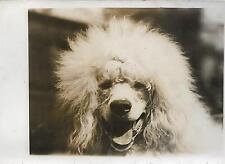 PHOTO de presse S.A.F.R.A originale + Tête de CANICHE blanc + CHIEN + BRIGHTON
