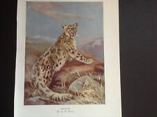 "C E Swan colour print of a Snow Leopard over 100 years old 8"" x 6"" image size"