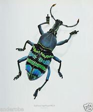 Durin Print SNOUT BEETLE/WEEVIL Eupholus magnificus Beetles/Insects NICE L@@K!