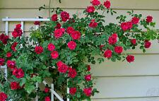25 pcs Rare Red  Climbing Rose Seeds Perennial Flower seeds for Garden Decor