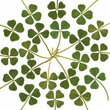 Wholesale 20pcs Genuine 4 Four Leaf Clover Irish Good Luck Wedding Favors Gift L