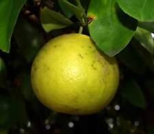Huile Essentielle de PAMPLEMOUSSE 10ml (citrus paradisi) pure naturelle 100%