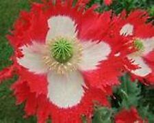 Poppy- Danish Flag/Queens- 500 Seeds - 50 % off sale