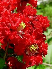 35 RED CREPE MYRTLE Crape Tree Shrub Lagerstroemia Flower Seeds *Comb S/H + Gift