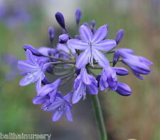 3 New Agapanthus Robin blue flowers excellent garden plant