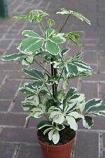 Indoor Plant -Schefflera Variegata -Umbrella Plant - Approx 30cm Tall
