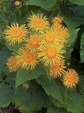 Helenina Inula magnifica-hierba medicinal vermú perenne-paquete de semillas