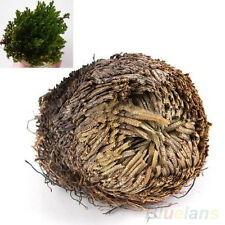 Trendy Hot Rose Of Jericho Dinosaur Plant Air Fern Spike Moss Resurrection Plant