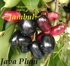 ~JAVA PLUM~ Syzygium cumini JAMBUL FRUIT TREE LIVE Medium Sz Potd Plant 12-18+in