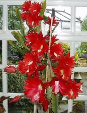 EPIPHYLLUM ARGENTINA (VERY FLORIFEROUS) ROOTED PLANT