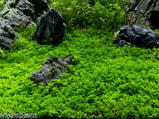 4 Vitro Cup Dwarf Baby Tears Hemianthus Callitrichoides Live Aquarium Plants