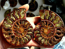 292g NATURAL CUT  CRETACEOUS   AMMONITE  FOSSIL Sliced MINERAL SPECIMEN M3